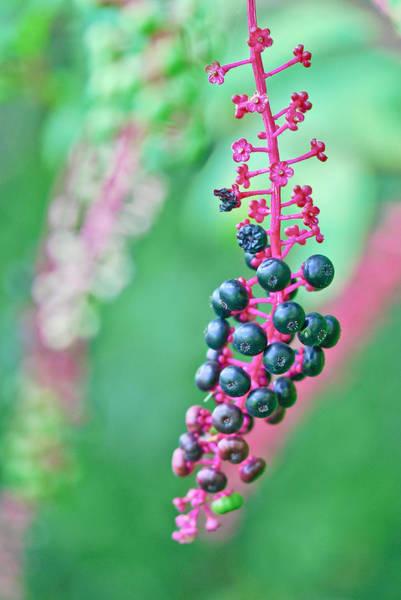 Photograph - Poke Berries by Katie Joya