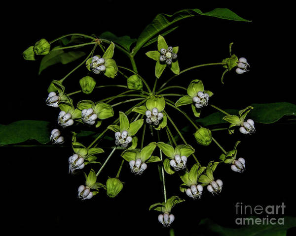 Photograph - Poke Milkweed by Barbara Bowen