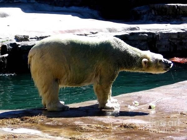 Photograph - Polar Bear 3 by Rose Santuci-Sofranko
