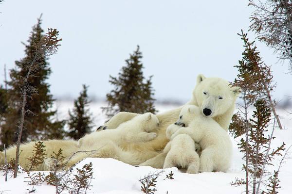 Photograph - Polar Bear And Nursing Cubs by Matthias Breiter