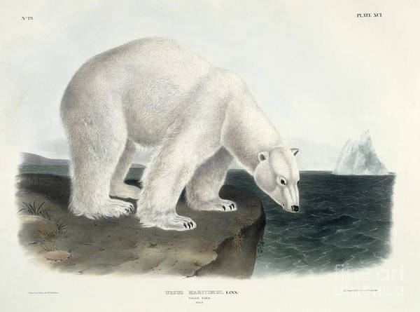 Ice Wall Art - Painting - Polar Bear by John James Audubon
