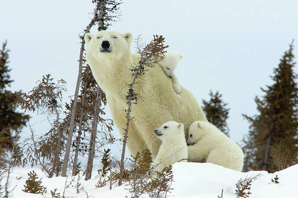 Photograph - Polar Bear Mom And Cubs by Matthias Breiter