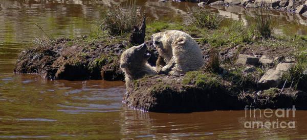 Photograph - Polar Bear Play by Phil Banks