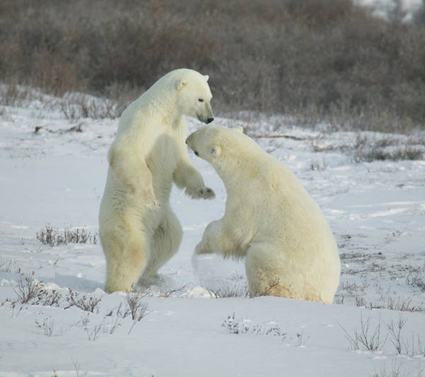 Photograph - Polar Bears Jousting by Ralph Fahringer