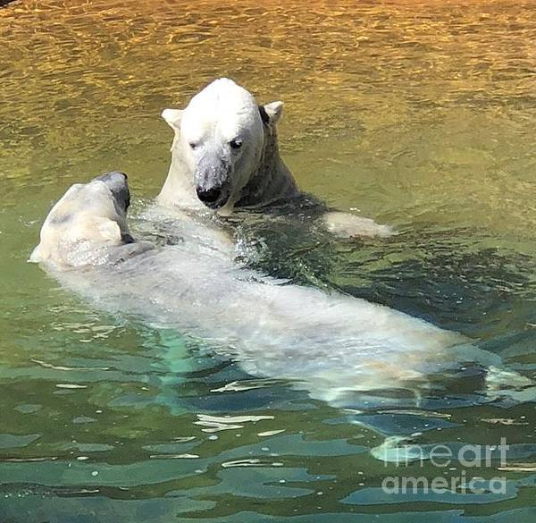 Photograph - Polar Bears by Laurie Lundquist