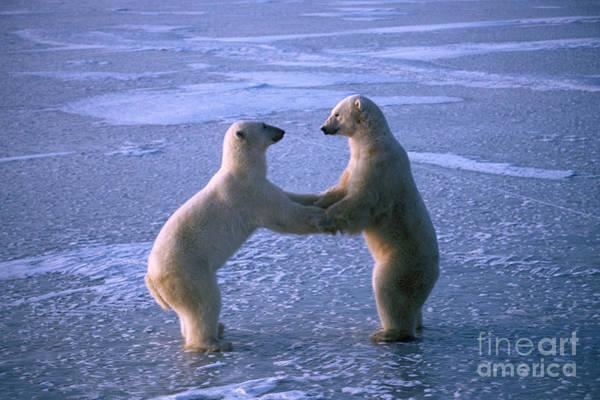 Dancing Bears Photograph - Polar Bears Play-fighting by Francois Gohier