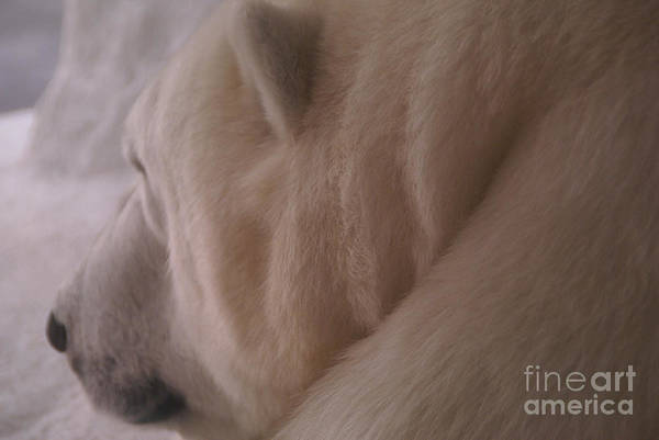 Photograph - Polar Dream by Linda Shafer