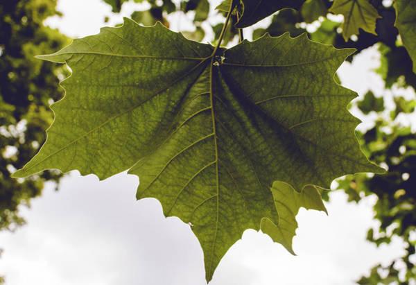 Photograph - Polish Maple Tree Leaf Close Up by Jacek Wojnarowski