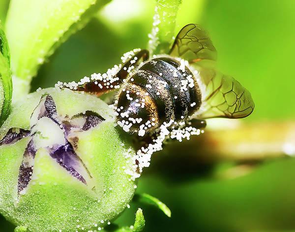 Photograph - Pollen Bee by Scott Cordell