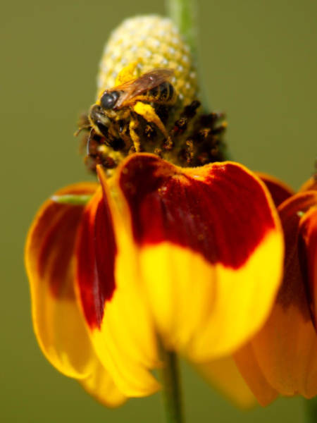 Photograph - Pollen Collector by Charles McKelroy