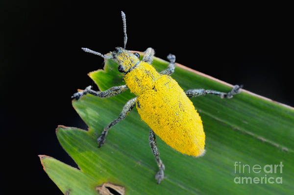Photograph - Pollen Covered Weevil by Fletcher and Baylis