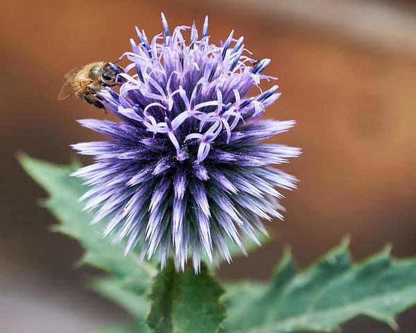 Photograph - Pollen Rustler by Trever Miller