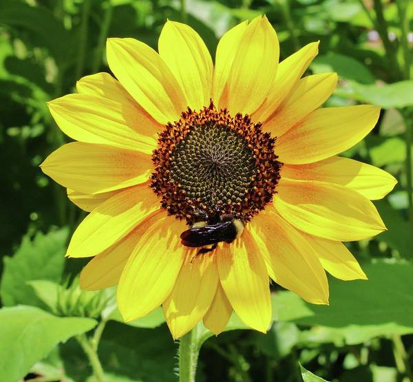 Photograph - Pollen Queen  by Cynthia Guinn