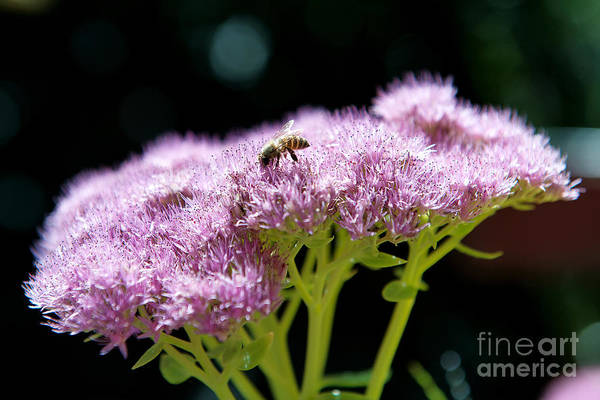 Photograph - Pollination by Yew Kwang