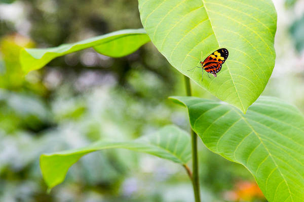 Photograph - Polymnia Tigerwing Butterfly On Large Leaf by SR Green