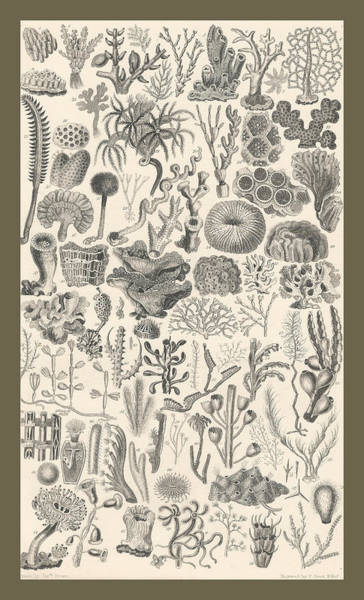 Wall Art - Drawing - Polypi by Dreyer Wildlife Print Collections