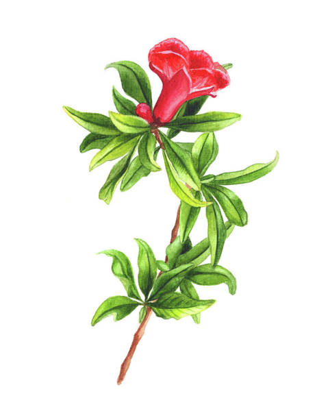 Juicy Drawing - Pomegranate Flower by Ekaterina Efanova