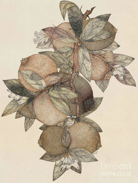 Organic Drawing - Pomegranate Fruit, 1867 by Rufus King