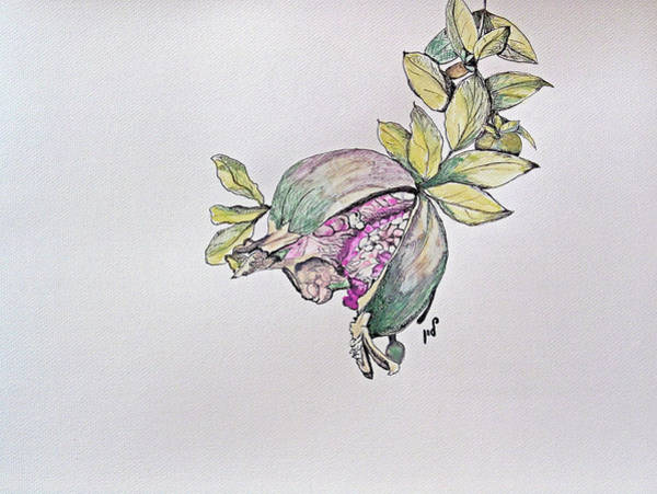 Developed Drawing - Pomegranate by Maria Woithofer
