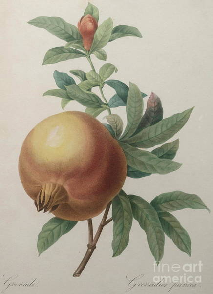 Pomegranates Painting - Pomegranate by Pierre Joseph Redoute
