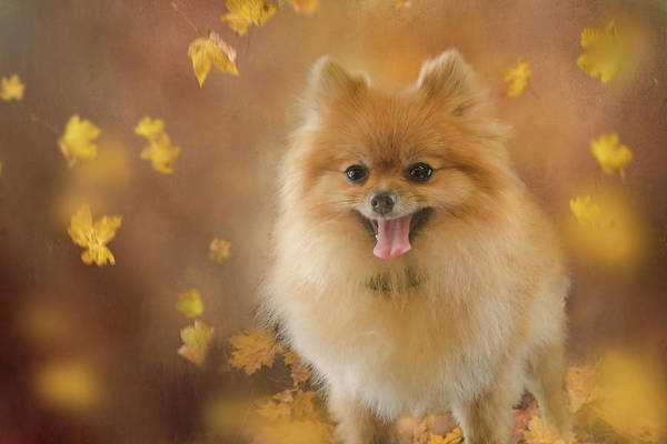 Dog Lover Photograph - Pomeranian by Margaret Goodwin