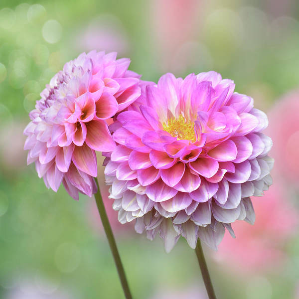 Photograph - Pompon Dahlias by John Poon