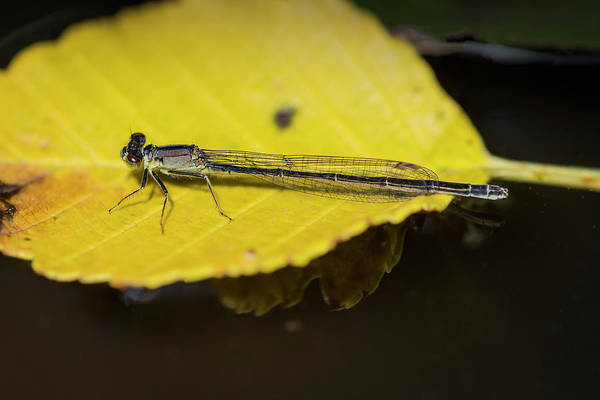 Photograph - Pond Damselfly by Robert Potts