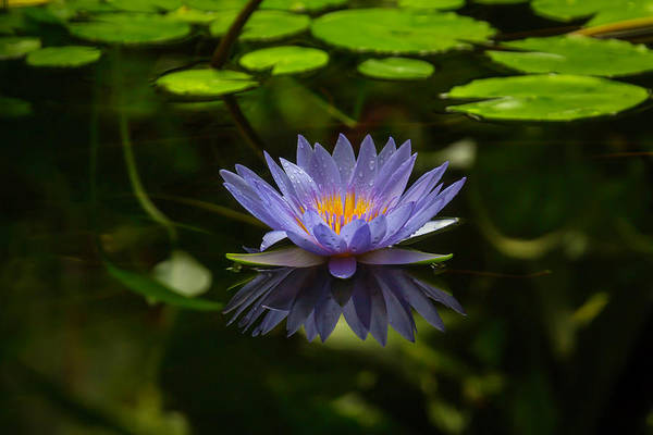 Distinctive Wall Art - Photograph - Pond Lily by Garry Gay