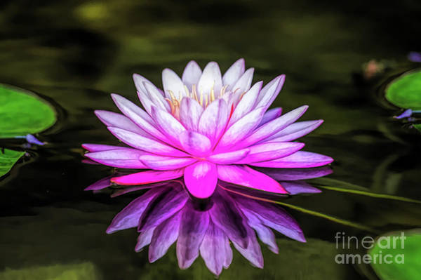Digital Art - Pond Water Lily by Ed Taylor