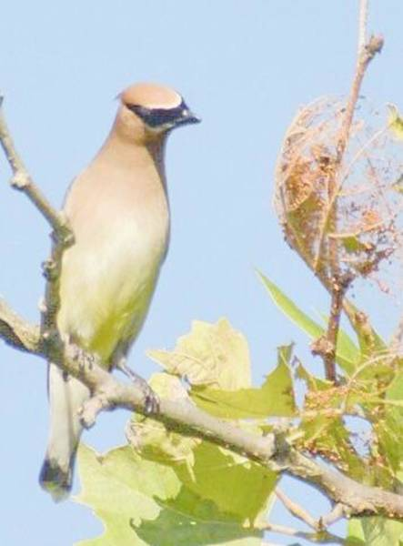 Photograph - Pondering Cedar Waxwing by Sumoflam Photography