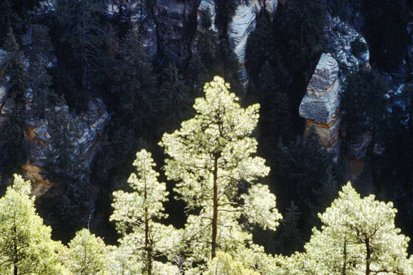 Photograph - Ponderosa Pines by Steve Somerville
