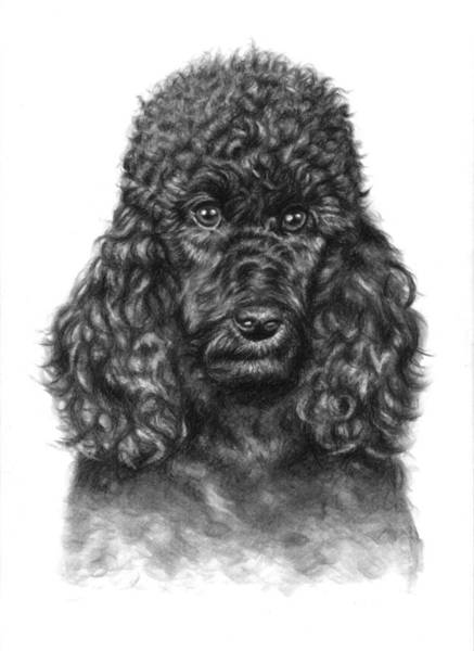 Furry Drawing - Poodle Portrait by Nicole Zeug