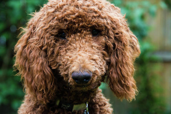 Photograph - Poodle Pup by Jennifer Ancker
