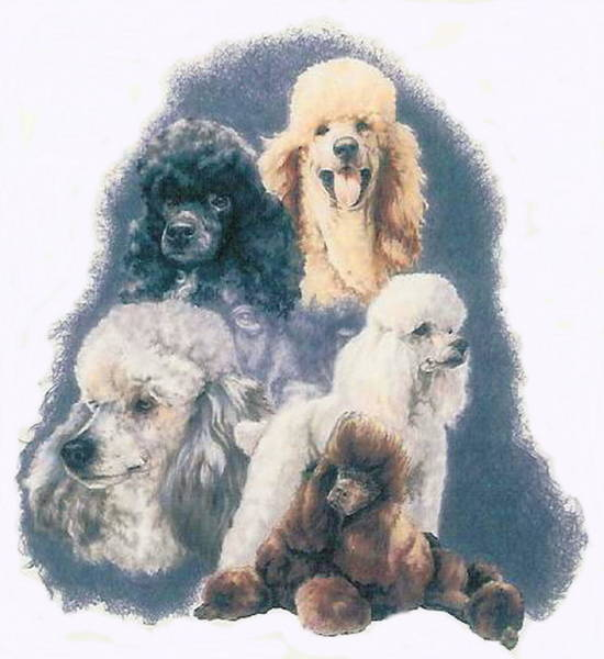 Drawing - Poodle Grouping by Barbara Keith