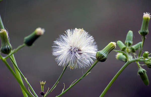 Dandelion Puff Photograph - Poof by Kenneth Albin