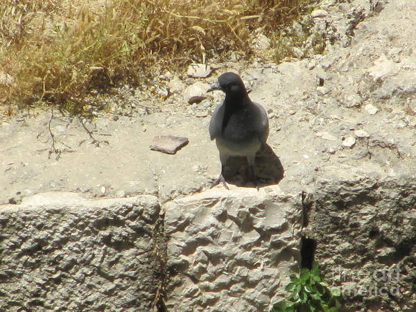 Photograph - Pool Of Siloam Pigeon by Donna L Munro