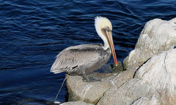 Photograph - Poopy Pelican  by Christy Pooschke