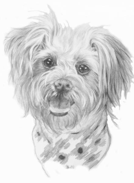 Mutt Drawing - Pooranian by Barbara Keith