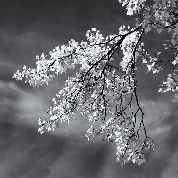 Photograph - Poplar Branches In Black And White by Nicholas Blackwell