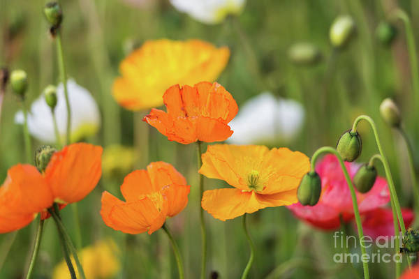 Photograph -  Poppies 1 by Werner Padarin