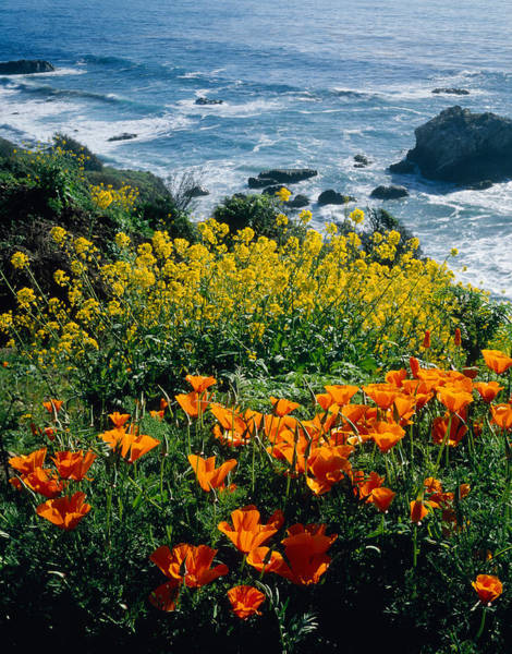 Steep Photograph - Poppies Along Coast Ca Usa by Panoramic Images