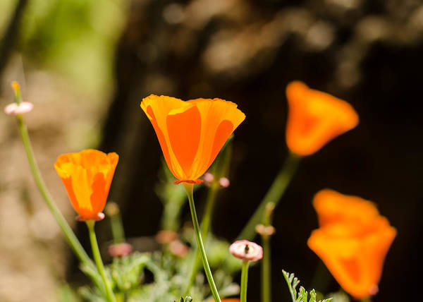Photograph - Poppies Along The Road by Tom Potter