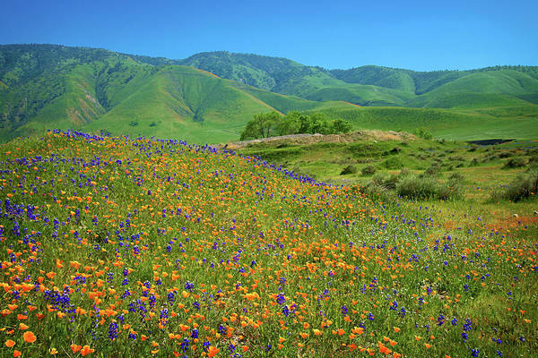 Photograph - Poppies And Lupines At Tejon Ranch by Lynn Bauer