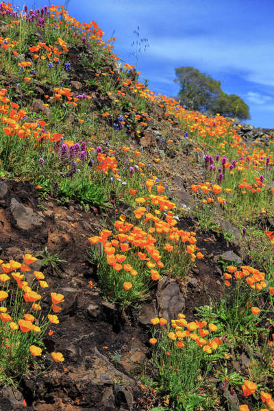Photograph - Poppies And Rocks by James Eddy