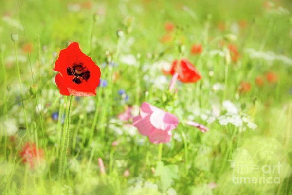 Wall Art - Photograph - Poppies And Wildflowers by Delphimages Photo Creations