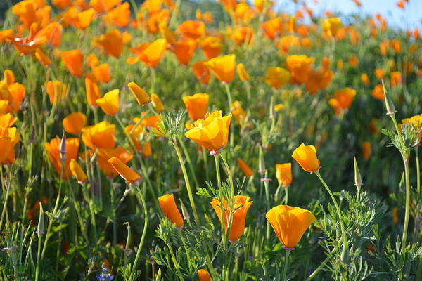 Photograph - Poppies Blooming by Glenn McCarthy Art and Photography