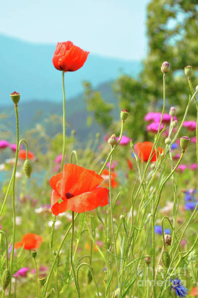 Wall Art - Photograph - Poppies by Delphimages Photo Creations