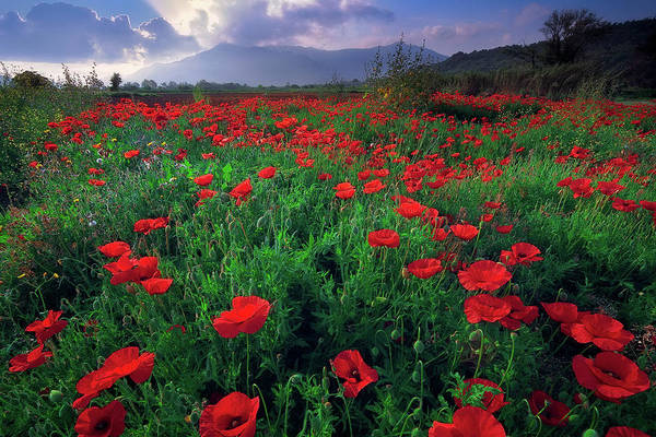 Photograph - Poppies by Giovanni Allievi