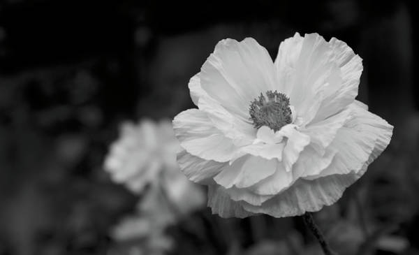 Photograph - Poppies In Black And White by Loree Johnson