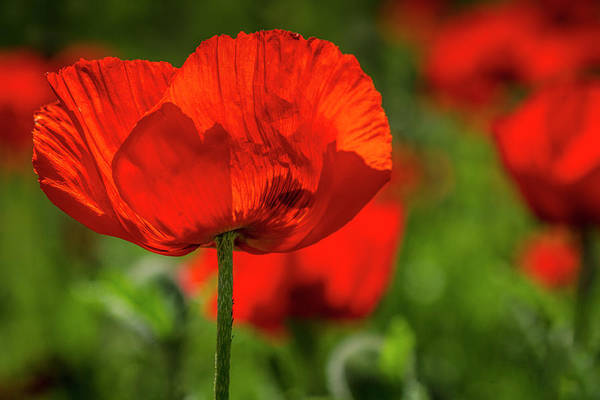 Photograph - Poppies In The Field by Teri Virbickis